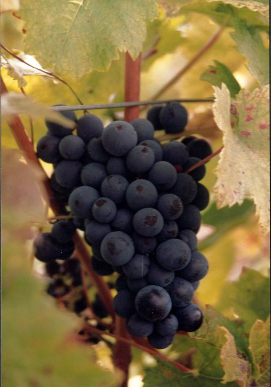 Chinon wine grapes, part of Loire Valley cycling tours B8