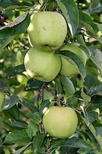 Azay le Rideau apples, part of Loire Valley cycling tours B8