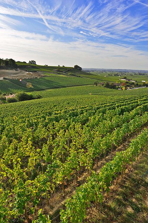 saint-emilion, grapevine