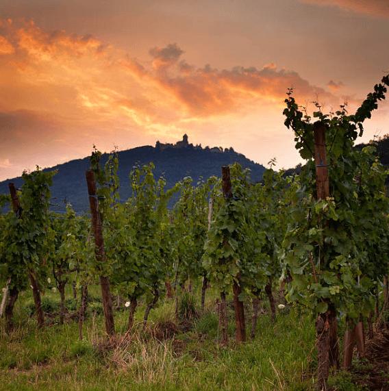 saint-emilion, grapevine, alsace
