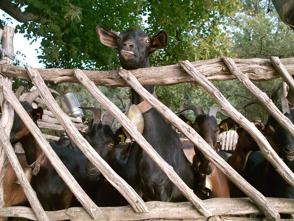 Provence private tour around Luberon - Goat Cheese Farm